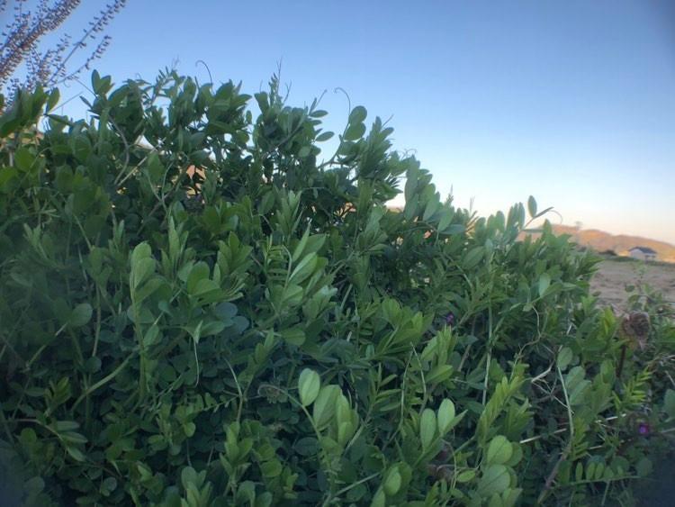 野草で茶1.jpg